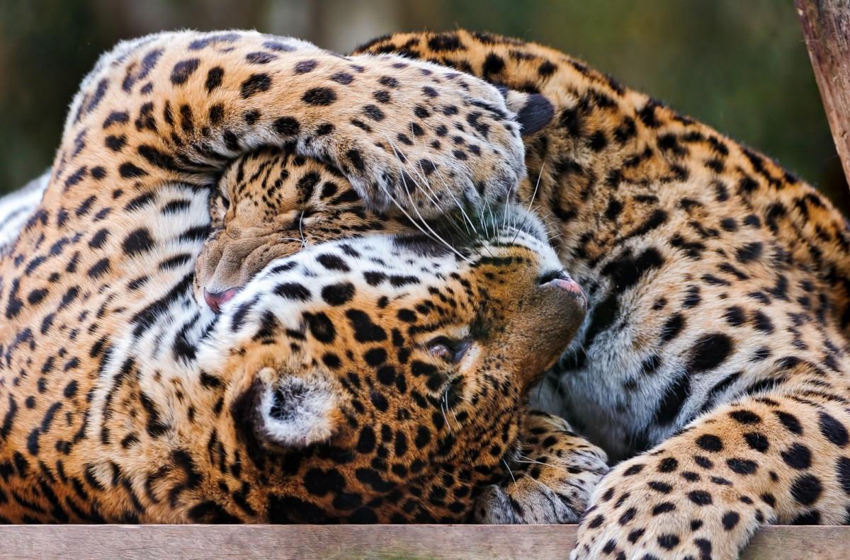 O quebra-cabeça Recolher o quebra-cabeças on-line - Leopards
