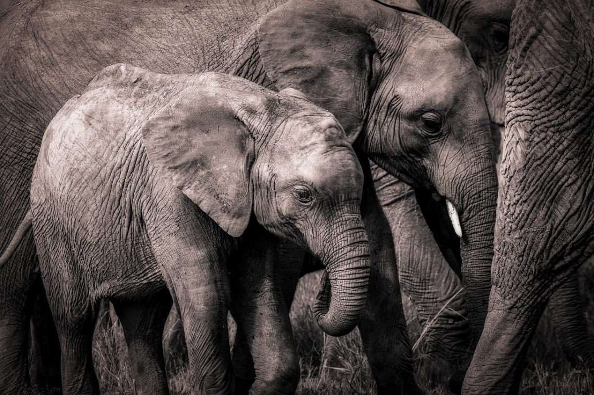 O quebra-cabeça Recolher o quebra-cabeças on-line - Grey elephants