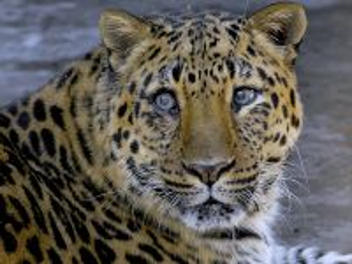 Собирать пазл Amurskiy leopard онлайн