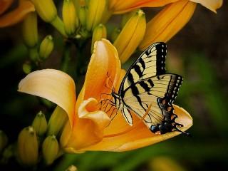 Собирать пазл Butterfly on Lily онлайн
