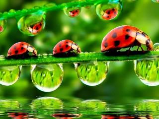 Собирать пазл Lady bugs онлайн
