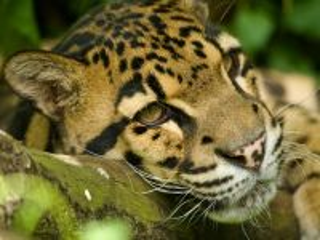 Собирать пазл Dimchatiy leopard онлайн