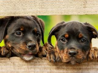 Собирать пазл Two puppies онлайн
