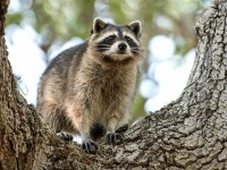 Собирать пазл Raccoon on the tree онлайн