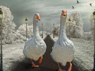 Собирать пазл Geese for a walk онлайн
