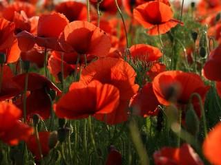 Собирать пазл Red poppies онлайн
