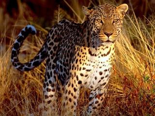 Собирать пазл Leopard онлайн