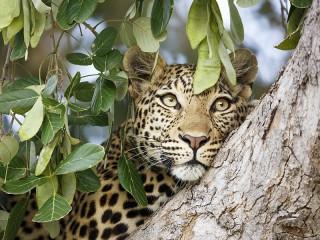 Собирать пазл Leopard on the tree онлайн
