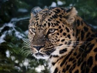 Собирать пазл leopard u eli онлайн