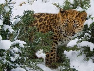 Собирать пазл leopard zimoy онлайн