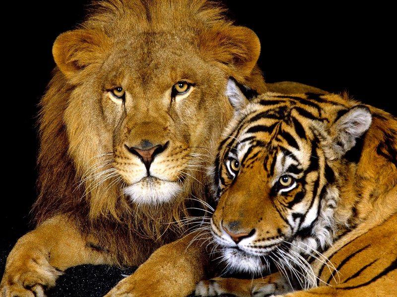 O quebra-cabeça Recolher o quebra-cabeças on-line - lev i tigr