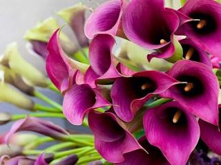 Собирать пазл Purple Calla lilies онлайн