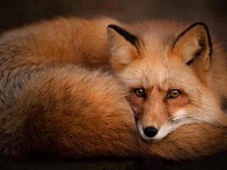 Собирать пазл Fox онлайн