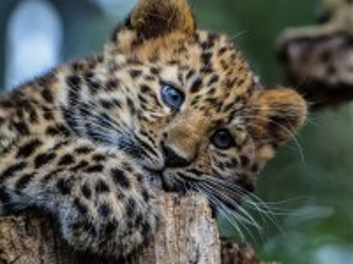 Собирать пазл Little leopard онлайн