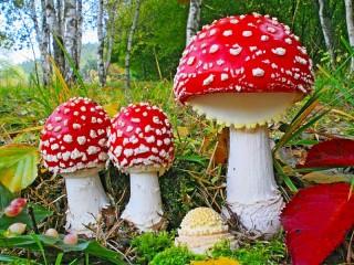 Собирать пазл Red mushrooms онлайн