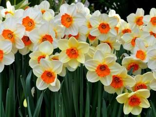 Собирать пазл Daffodils онлайн