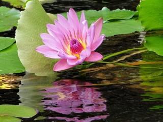Собирать пазл Reflection Lotus онлайн
