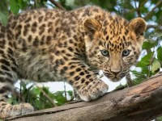 Собирать пазл Calico kitten онлайн