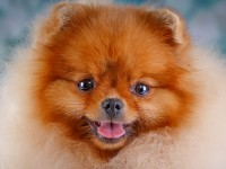 Собирать пазл Ginger dog онлайн