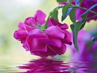 Собирать пазл Rose over the water онлайн