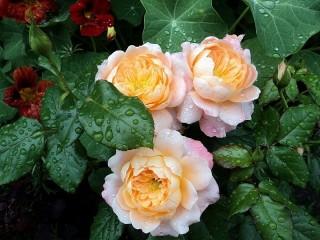 Собирать пазл Roses and nasturtium онлайн