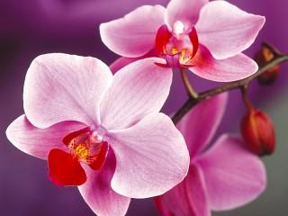 Собирать пазл Pink Orchid онлайн