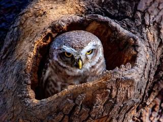 Собирать пазл Serious owl онлайн