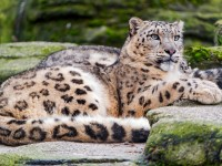 Собирать пазл Snow leopard онлайн