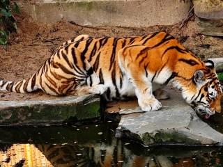 Собирать пазл Tiger at waterhole онлайн