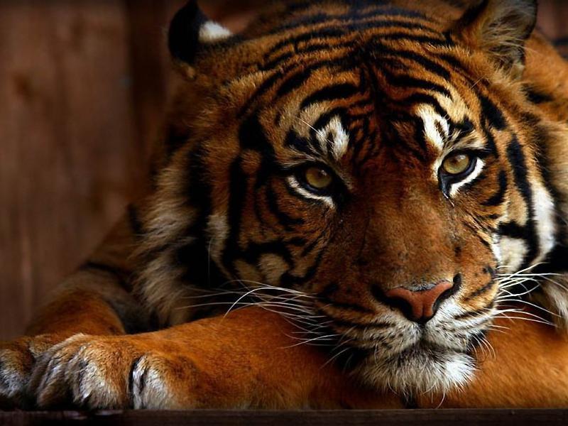 O quebra-cabeça Recolher o quebra-cabeças on-line - Tigress