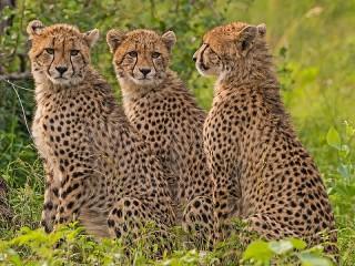 Собирать пазл Three Cheetah онлайн
