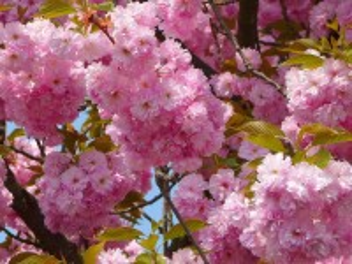 Собирать пазл The cherry blossoms онлайн