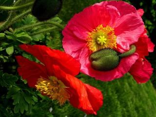 Собирать пазл Flowers and Bud онлайн
