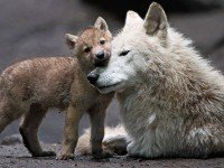 Собирать пазл She-wolf and wolf cub онлайн
