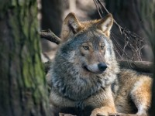 Собирать пазл Wolf онлайн