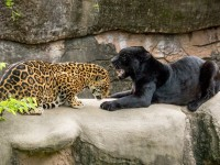 Собирать пазл Jaguar and panther онлайн