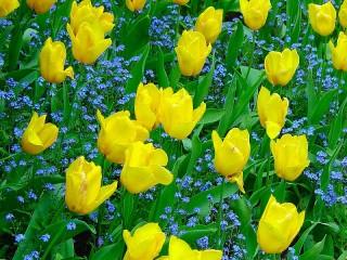 Собирать пазл Yellow tulips онлайн